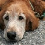 older-dog