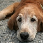 older-dog-supplement